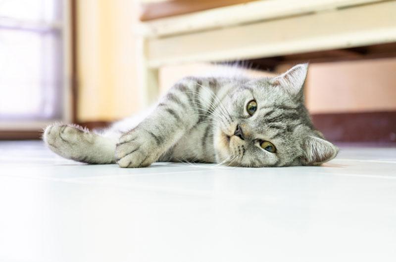 gato-americano