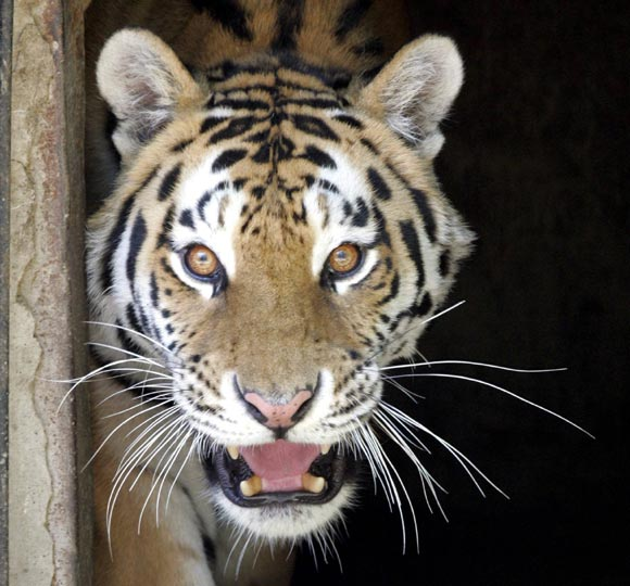 Una tigresa mata a un hombre y hiere a dos tras escaparse de su jaula en el zoo de San Francisco