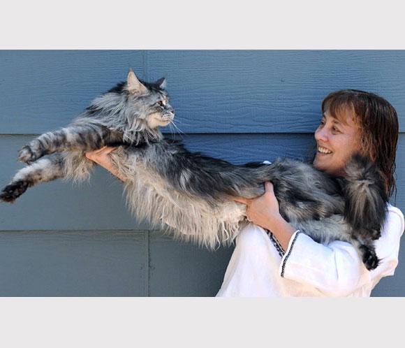 ¿Cuánto mide el gato más largo del mundo?