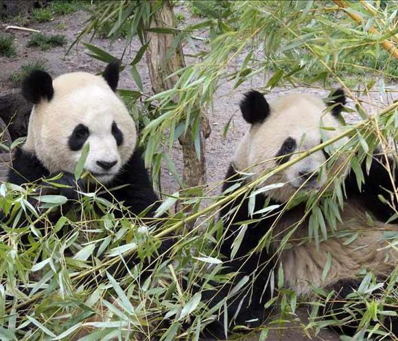 Los pandas chinos tendrán su particular 'reality' al estilo de Gran Hermano