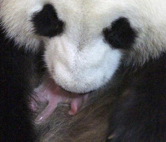 La cría de oso panda gigante nacida en el Zoo de Madrid es un macho