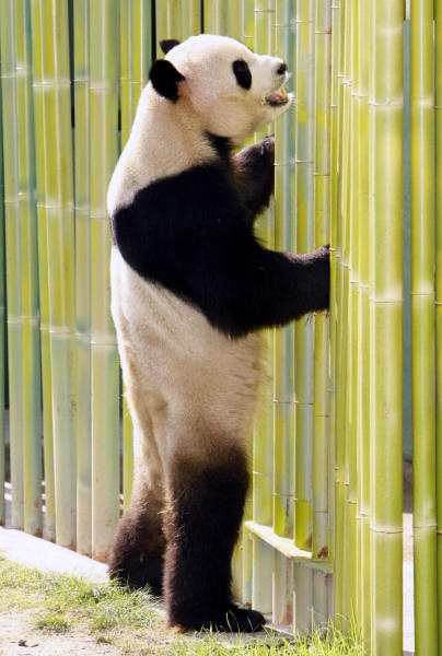 Majestuoso recibimiento en el zoo de Madrid a los pandas Bing Xing y Hua Zui Ba