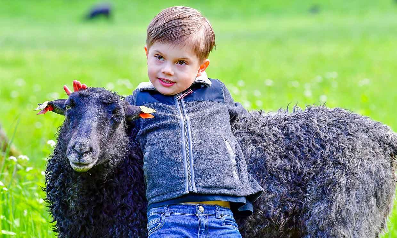 Primero apicultor y ahora, pastor de ovejas: a Oscar de Suecia no se le resiste ningún animal