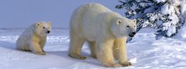 En compañía de... osos polares
