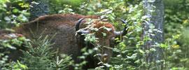 Safari en busca del último bisonte europeo
