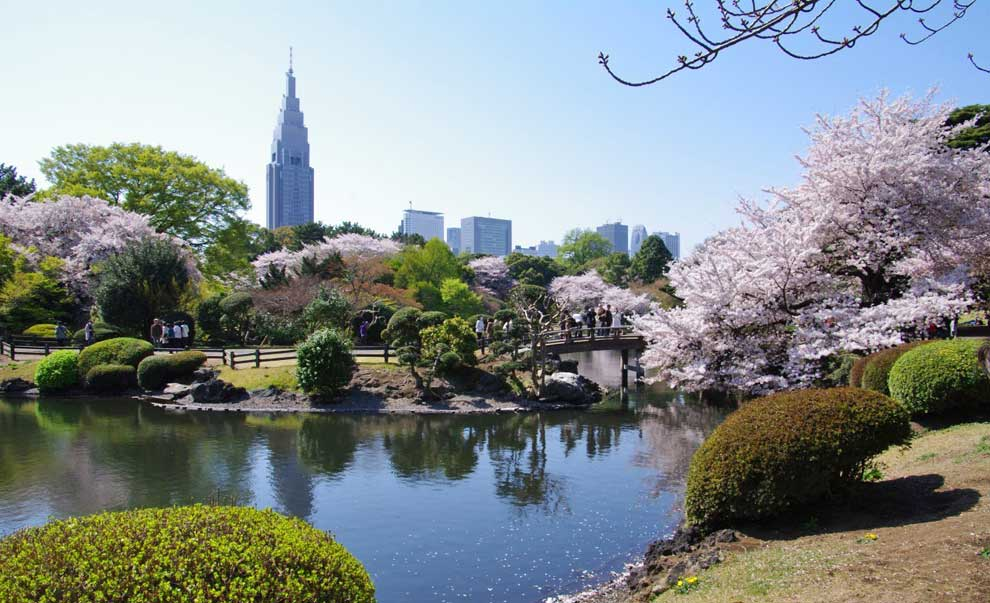 as lucen cada primavera los cerezos en flor en tokyo