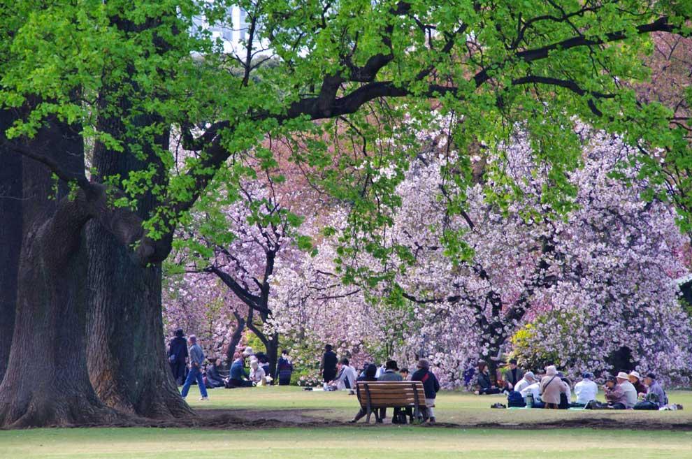 As lucen cada primavera los cerezos en flor en tokyo for Plantas jardin japones