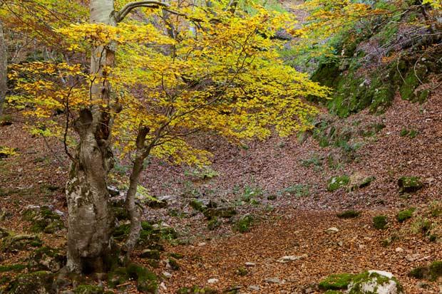 El Faedo de Ciñera, un bosque 5 estrellas para este fin de semana otoñal
