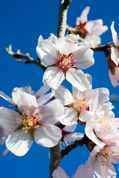 El espectáculo de los almendros en flor, en Teruel