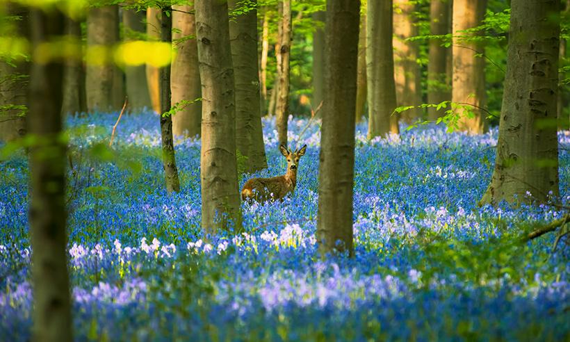 Un bosque azul de cuento de hadas para esta primavera