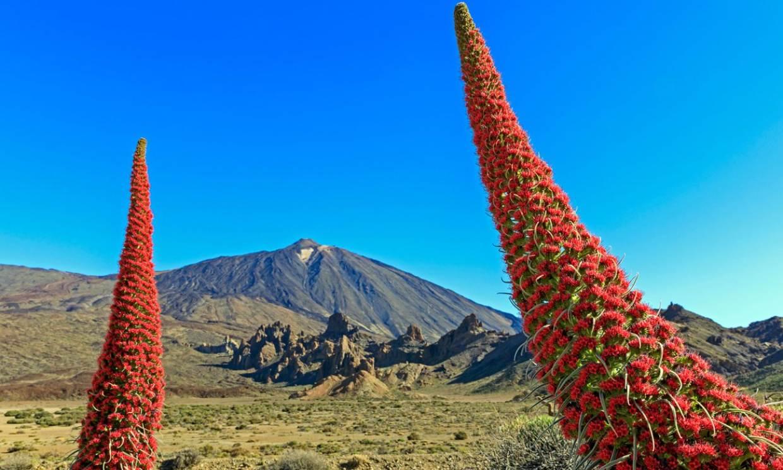 Florece el tajinaste, El Teide se viste de rojo