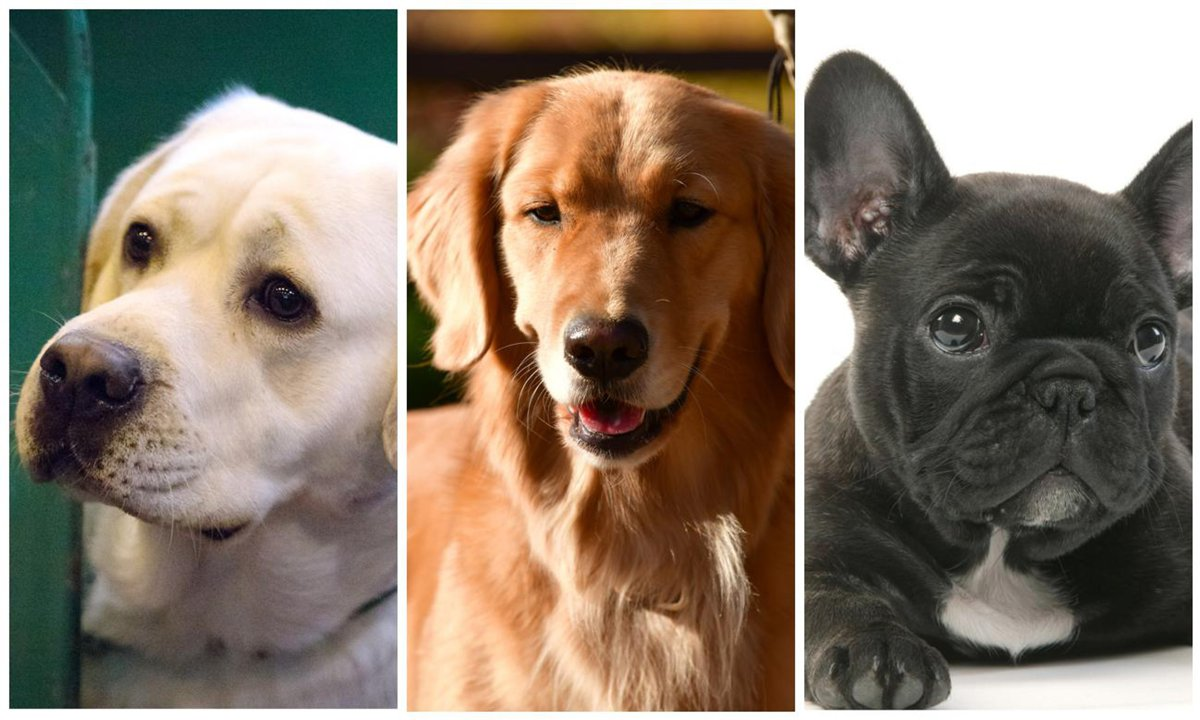 The 10 most popular dog breeds of 2020