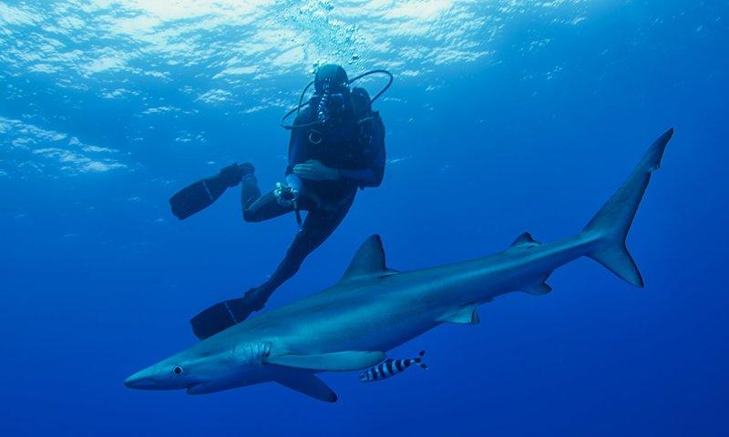 Blue Shark-(Prionace glauca)