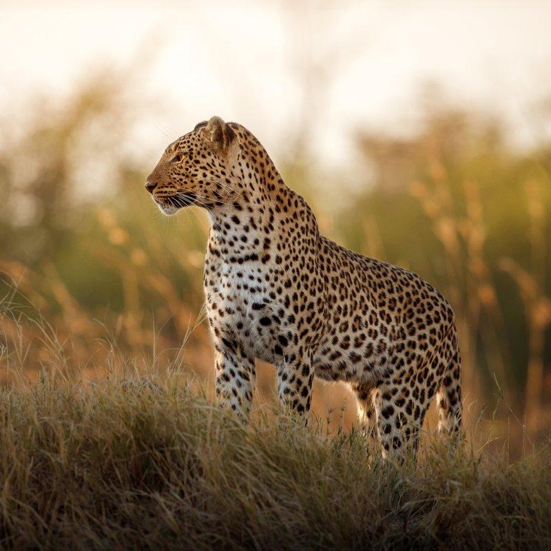 African leopard female pose in beautiful evening light.